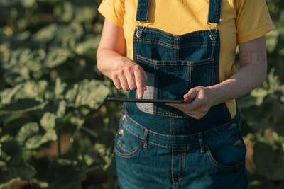 Sunflower farmer using tablet computer in crop field before bloo