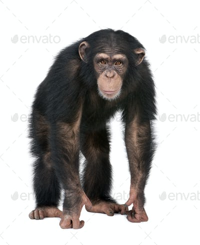 Young Chimpanzee looking at the camera - Simia troglodytes (5 years old)