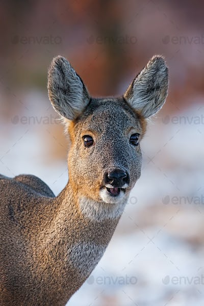 Portrait of roe deer, capreolus capreolus, doe in winter