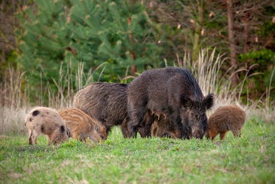 Wild sow with little stripped piglets grazing in fresh spring nature