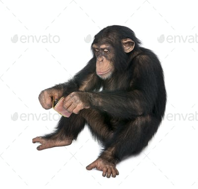 Young Chimpanzee looking himself at the pocket mirror - Simia troglodytes (5 years old)