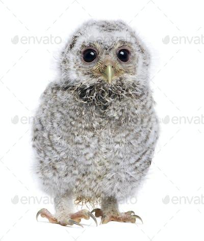 baby Little Owl - Athene noctua (4 weeks old)