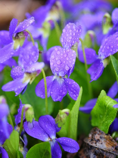 Violets flowers (Viola odorata). Spring flowers with drops of de