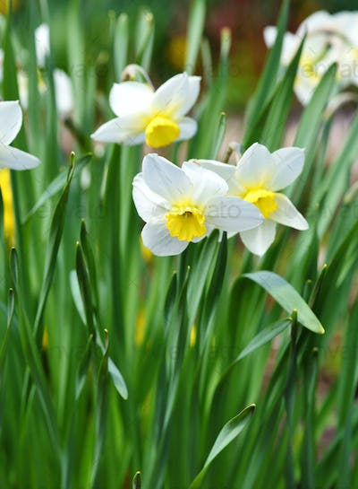 Narcissus flower, daffodils. Spring flowers in the garden