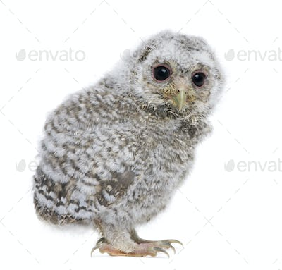 side view of a owlet - Athene noctua (4 weeks old)