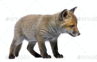 Red Fox Cub, Vulpes vulpes, 6 weeks old, standing, studio shot