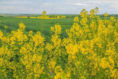 yellow oilseed field agriculture business