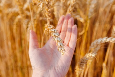 Spikelet wheat in farmer's hand
