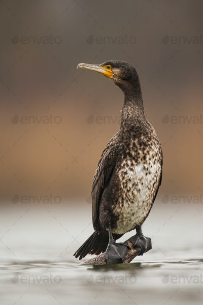 Great cormorant, phalacrocorax carbo, sitting on a perch just above water level