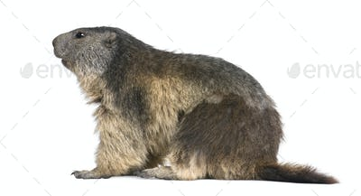 Alpine Marmot - Marmota marmota (4 years old)