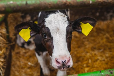 calf at modern agriculture stable