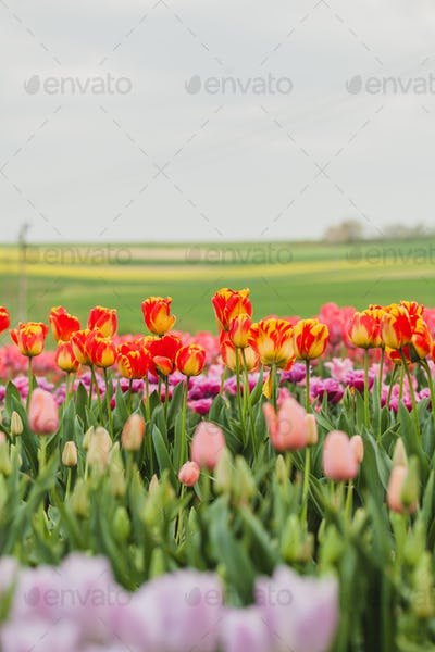 tulips field agriculture holland