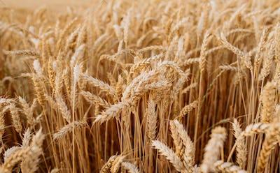 gold ripe wheat field in sun