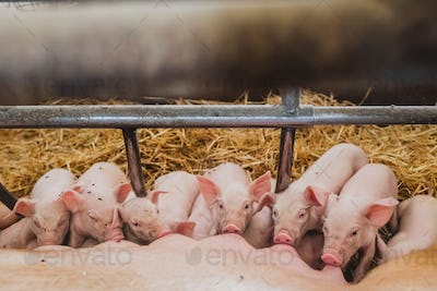 little piglets drinking milk closeup