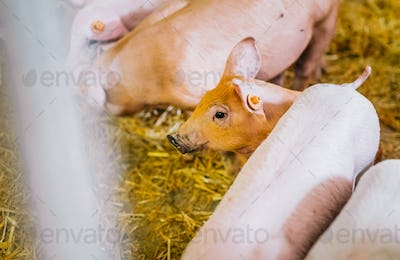 young piglets in agricultural livestock farm