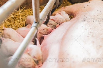 young piglets sucking sow milk