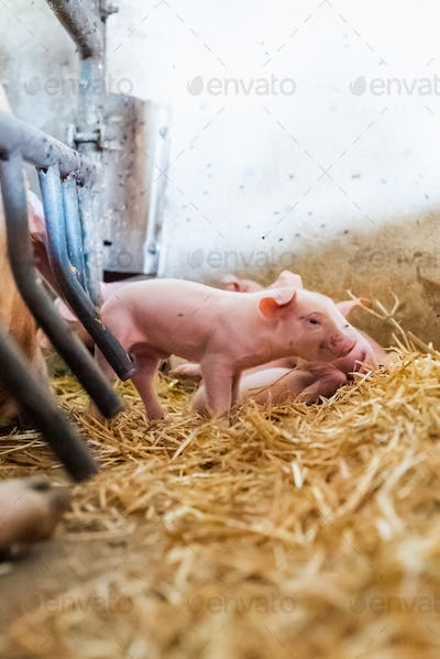 young piglet in agricultural livestock farm