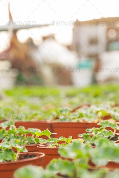 Close up of Flower and Vegetable Seedings in Greenhouse