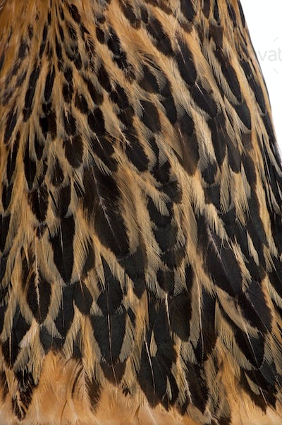 Close-up of Brown Brahma Hen feathers