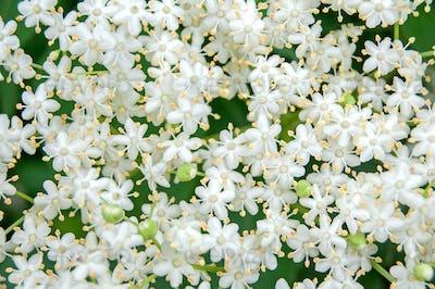 White blossom of elderflower (Sambucus nigra) shrub