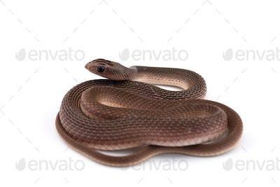 The rufous beaked snake isolated on white background