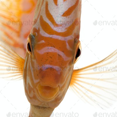 Pigeon Blood Discus (fish) - Symphysodon aequifasciatus