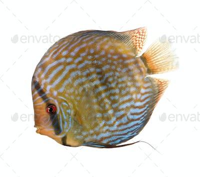 Red Turquoise Discus fish, Symphysodon aequifasciatus, studio shot