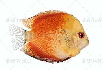 Fire Red Discus (fish) - Symphysodon aequifasciatus