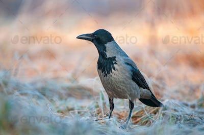 Hooded crow (Corvus cornix) , standing in a field