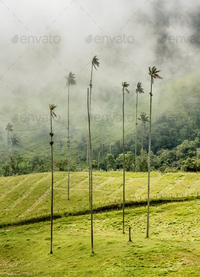 Cocora Valley near Salento in Colombia
