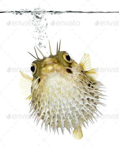 Long-spine porcupinefish (fish) swimming below the waterline
