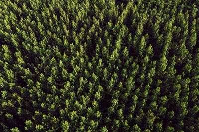 Aerial view of cottonwood populus green forest in summer