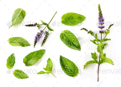 fresh mint leaves and blooming mint flower