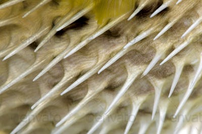 Close-up on a skin of a yellow Long-spine porcupinefish (fish)
