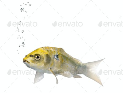 Yellow Koi ogon fish, Cyprinus Carpio, studio shot
