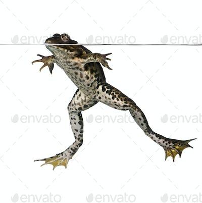Edible frog floating in water, Rana esculenta, studio shot
