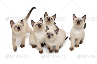 Five small Thai kittens