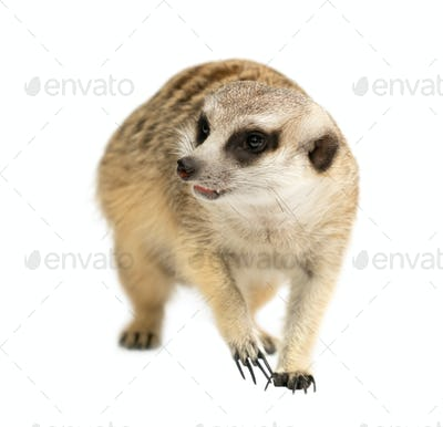 cute meerkat ( Suricata suricatta ) isolated on white background