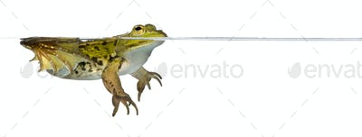 Frog floating in water