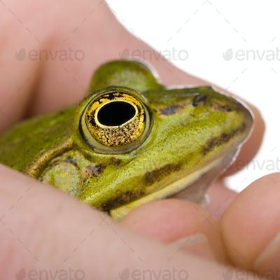 Edible Frog in a hand- Rana esculenta