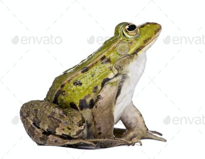 side view of a Edible Frog looking up - Rana esculenta