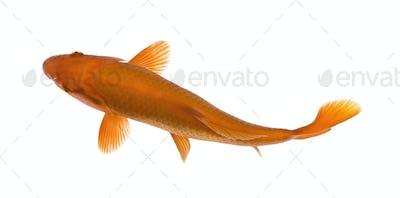 Orange koi fish, Cyprinus Carpio, studio shot