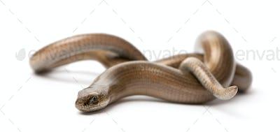 slowworm - Anguis fragilis