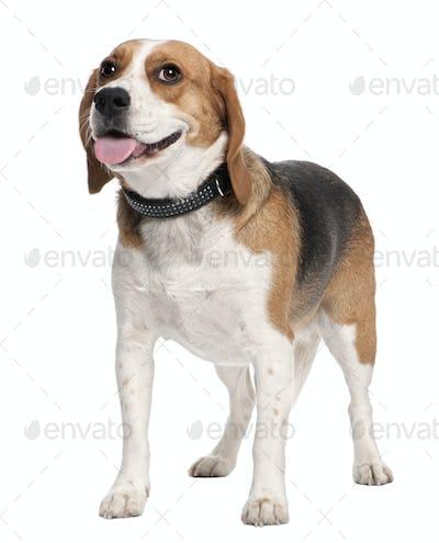 Beagle panting