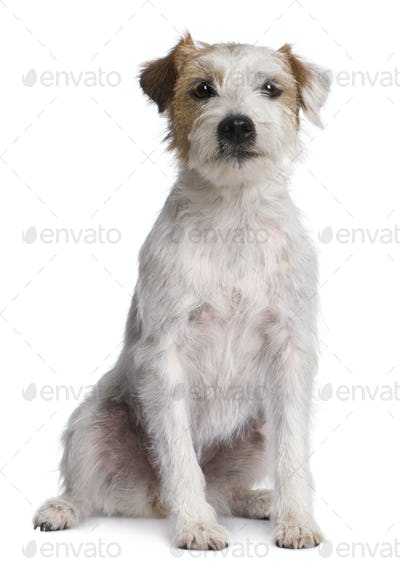 Parson Russell Terrier sitting in front of white background