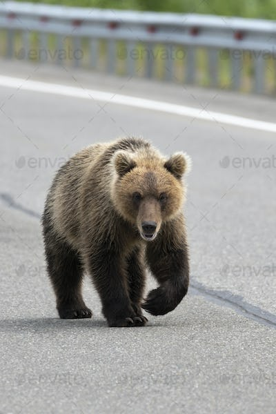 Hungry Wild Kamchatka Brown Bear Walking Along an Asphalt Road
