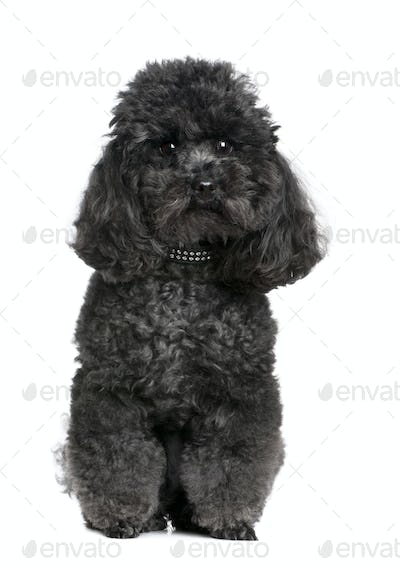 toy poodle (4 yeras old)