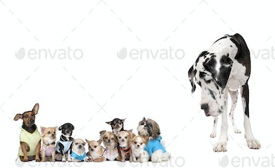 Large dog looking at small puppies in front of white background, studio shot