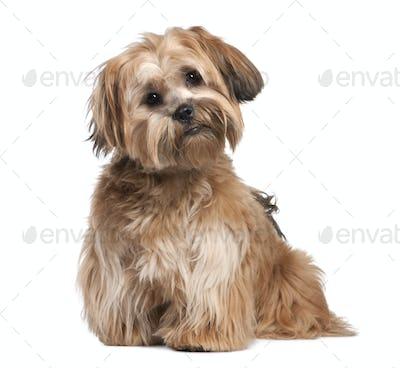 Shih Tzu puppy (8 months old)