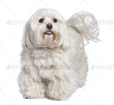 maltese dog (6 years old)